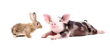 Funny pig and curious rabbit. Together isolated on white background stock photo