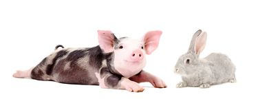 Funny pig and cute rabbit lying together. Isolated on white background royalty free stock photo