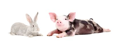 Funny pig and cute rabbit. Together isolated on white background stock images