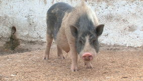 Funny pig on a farm stock video