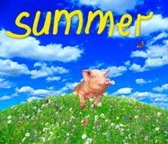Funny pig looking out from behind hill in summer meadow. Amusing piglet. Funny pig looking out from behind hill in summer meadow. Inscription summer. Amusing stock images