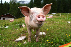 Funny pig Stock Image