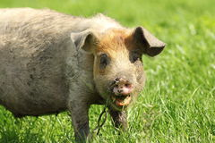 Funny pig portrait. Portrait of a funny pig grazing near the farm Royalty Free Stock Image