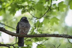 Funny pigeon sitting on tree branch Stock Photos