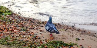 Funny Pigeon walking. Pigeon with river landscape in the background. royalty free stock image