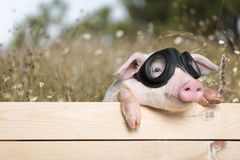 Funny piglet royalty free stock photos