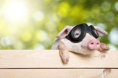 Funny piglet. Animals pig head isolated tree snout Stock Photos