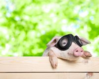 Funny piglet Royalty Free Stock Photo