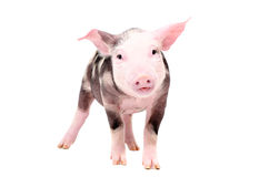 Funny piglet. Standing isolated on white background royalty free stock photography