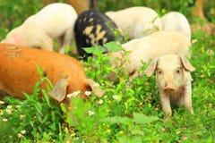 Funny piglets Stock Photo