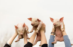 Funny piglets Stock Image