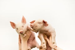 Funny piglets. Two funny piglets up in the air royalty free stock photo