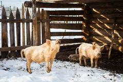 Funny pigs in a farm Royalty Free Stock Images