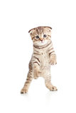Funny playful cat kitten pet  is dancing Stock Photography