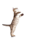 Funny playful cat standing Royalty Free Stock Images