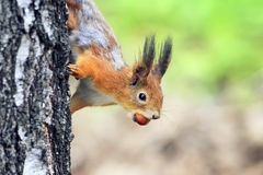 Funny playful curious red squirrel peeping from behind a tree with nuts hazelnuts Stock Photos