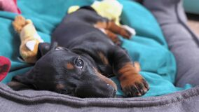 Funny playful dachshund puppy lazily waving his paw and wants to reach for the toy to chew it. Hyperactive baby dog is