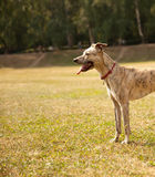 Funny playful dog in the park Stock Images