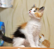Funny playful fluffy kitten royalty free stock image