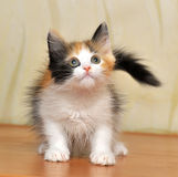 Funny playful fluffy kitten. Tri-color color Royalty Free Stock Images