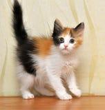 Funny playful fluffy kitten royalty free stock photo