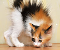 Funny playful fluffy kitten Royalty Free Stock Photography