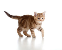 Funny playful kitten. Brittish breed. Tabby. Stock Photo