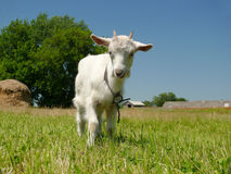 Funny and playful white domestic goat Royalty Free Stock Image