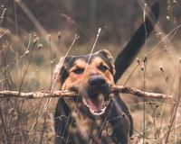 Funny playing german shepherd dog royalty free stock image
