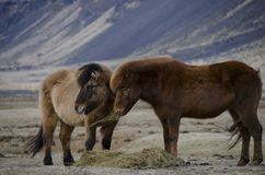 Funny plush Icelandic horses on the farm in the mountains of Iceland eating sear yellow grass stock photography