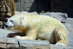 Funny polar bear Stock Images