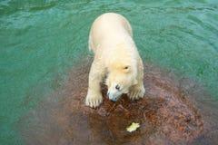Funny polar bear cub and water-melon crust Stock Photography