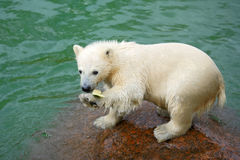 Funny polar bear cub and water-melon crust Royalty Free Stock Photography