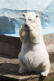Funny polar bear sitting on its hind legs Royalty Free Stock Photography