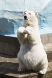 Funny polar bear sitting on its hind legs Royalty Free Stock Photos