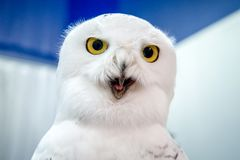 Funny polar owl on blue and white background. Big yellow eyes, open beak, laugh, surprise, she is amazed, wow, Bubo scandiacus royalty free stock images