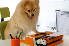 Funny Pomeranian dog typing on a typewriter. Lovely Pomeranian dog typing on a vintage typewriter in the office Royalty Free Stock Image