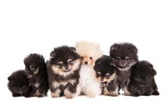 Funny Pomeranian Puppies group stock images
