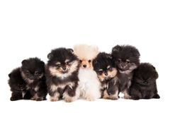 Funny Pomeranian Puppies group Stock Photos