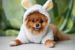 Funny Pomeranian puppy dressed as lamb Stock Photo