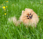 Funny pomeranian sitting in grass Stock Photos