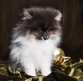 Pomeranian Spitz dog puppy with New Year ball on Christmas or New Year royalty free stock images