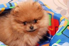 Funny pomeranian spitz puppy. Pomeranian dog. Little puppy. Cute pomeranian spitz puppy. Pomeranian dog. Little puppy stock photography
