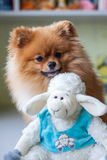 Funny Pomeranian with toy sitting in an interior Stock Photos