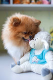 Funny Pomeranian with toy sitting in an interior Royalty Free Stock Image
