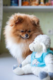 Funny Pomeranian with toy sitting in an interior royalty free stock images