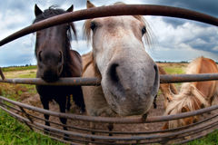 Funny pony behind fence close up Royalty Free Stock Photography
