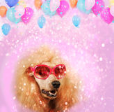 Funny poodle dog with glasses Royalty Free Stock Photo