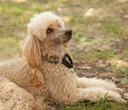 funny poodle lying on grass Stock Image