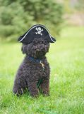 Funny poodle with pirate hat. Stock Photo
